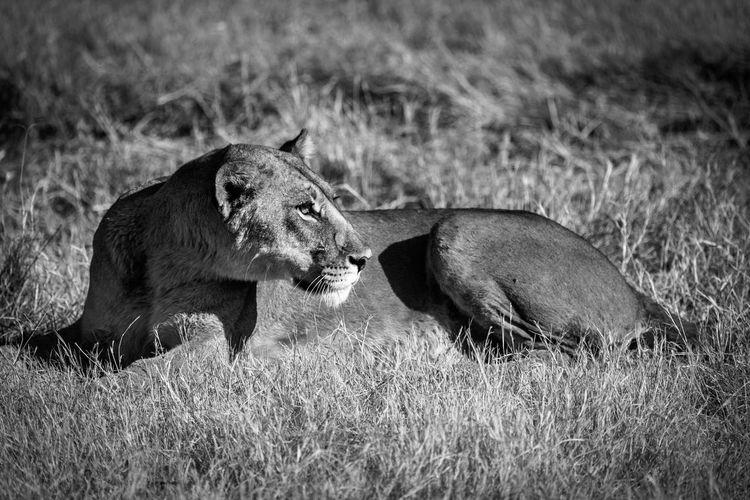 Okavango Delta Lioness Lion Africa Safari Animals Big5 South Africa Botswana Animal Photography Bigcats Bigcat Bigcatphotography Wildlife Wildlife & Nature Wildlife Photography Wildlifephotography Safari Safari Park