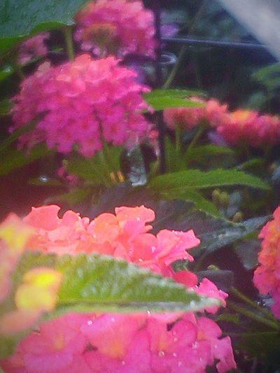 Depth Of Field Rainy Days☔ My Photography Flower Porn Flowers,Plants & Garden Rain Drops On Petals Rain Drops On Flowers Rain Drops On Leaves Leaves🌿