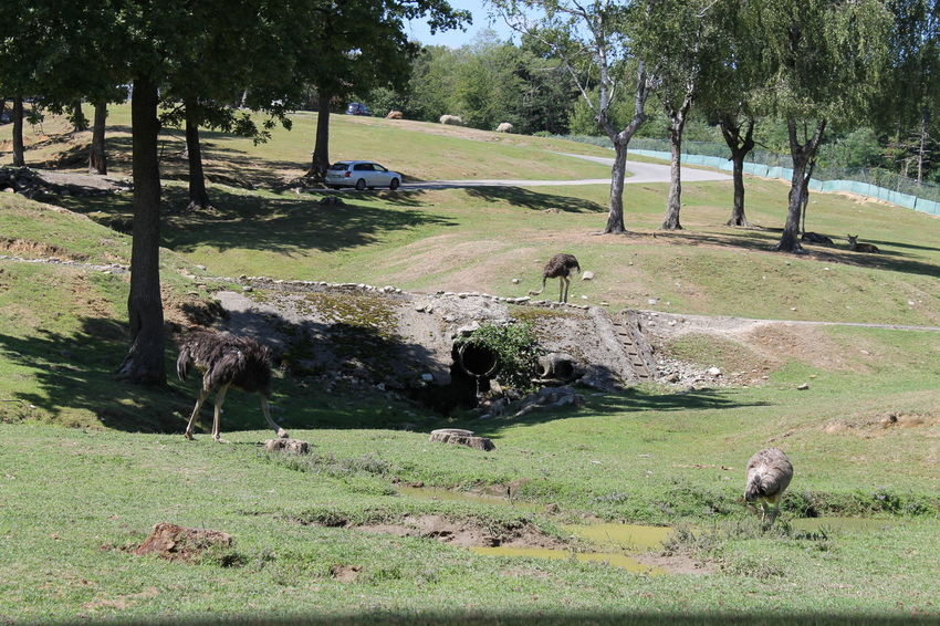Check This Out Day Enjoying Life Eye4photography  EyeEm Best Shots EyeEm Nature Lover Golf Golf Course Green Color Nature No People Ostrich Outdoors Taking Photos Tree Tree Area