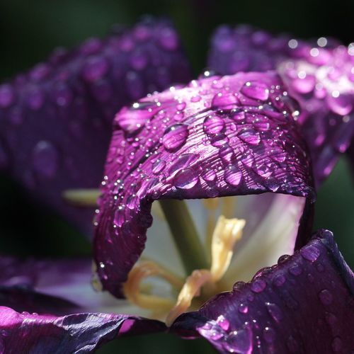 Raindrops Macro Macro Photography Beauty In Nature Macro_collection View No People No Filter, No Edit, Just Photography Different Perspective Best EyeEm Shot Eeyem Photography EyeEm Best Shots EyeEm Nature Lover Waterdrops Nature EyeEm Gallery Tulpen Tulip Nature Photography EyeEm Selects Nice View Nice Flower Magenta Purple Color Stamen