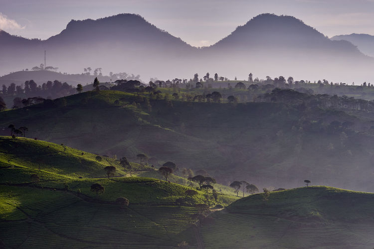 Scenic view of tea plantation in the misty morning