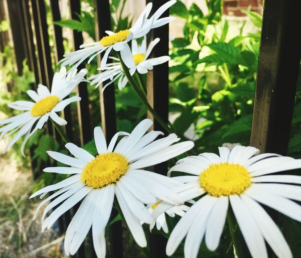 Iron Bars cannot Restrain Mother Nature Flower Flowering Plant Plant Vulnerability  Fragility Freshness Beauty In Nature Flower Head White Color Nature Yellow Close-up Growth Focus On Foreground Inflorescence No People Petal Outdoors Day