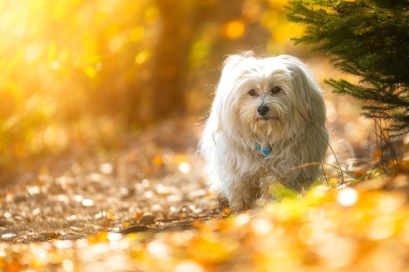 Animal Hair Animal Themes Day Dog Domestic Animals Grass Leaf Looking At Camera Mammal Nature No People One Animal Outdoors Pets Portrait Selective Focus Sunlight Tree West Highland White Terrier