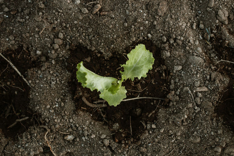 Lettuce Plant Bio Home Garden Plant Yourself Growth Growing Springtime Spring No People Plant Part Leaf Beginnings Nature Freshness Dirt Vegetable Day Food Outdoors Gardening
