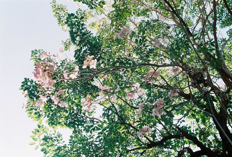 Film Agfa Agfa Vista200 Beauty In Nature Blossom Branch Bright Cherry Blossom Film Photography Flower Flowering Plant Fragility Growth Low Angle View Nature No People Plant Plant Part Springtime Tranquility Tree Vulnerability