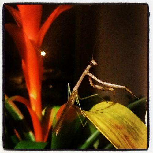 Praying mantis at my door. They remind us to have patience in acquiring the things we want and to remain balanced throughout the duration of the wait. Balancingact Innerpeace Abugslife