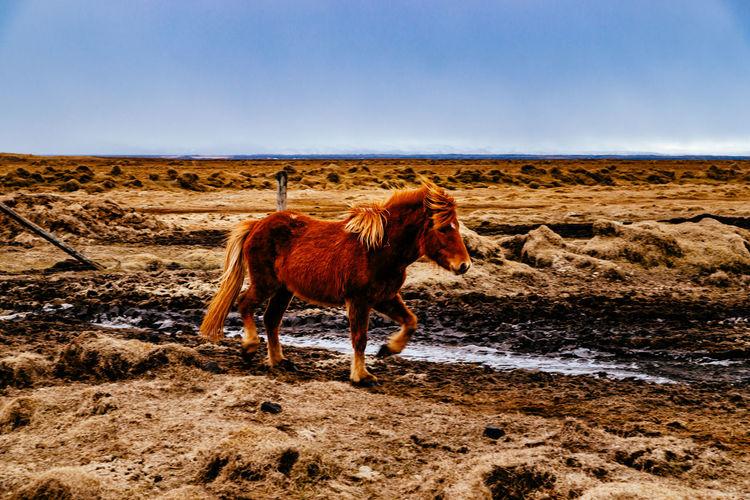 Full length of horse walking on field