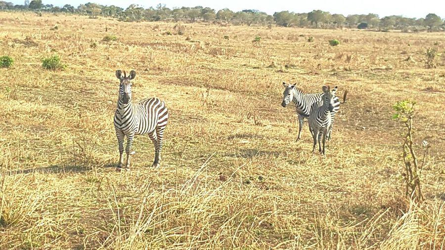 Zebra Wild Life Taking Photos First Eyeem Photo Enjoying Life Check This Out Hi! Cheese! Hello World Tanzania Daressalaam Likeforlike #likemyphoto #qlikemyphotos #like4like #likemypic #likeback #ilikeback #10likes #50likes #100likes #20likes #likere