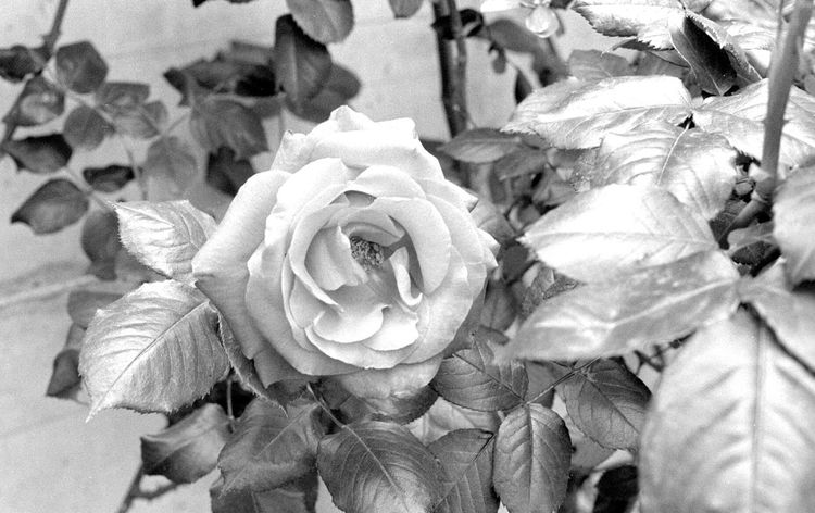 Blackandwhite Cat Day Kodak 400tmax Nature Nature Photography No People Outdoors Perano Rose - Flower Rose🌹