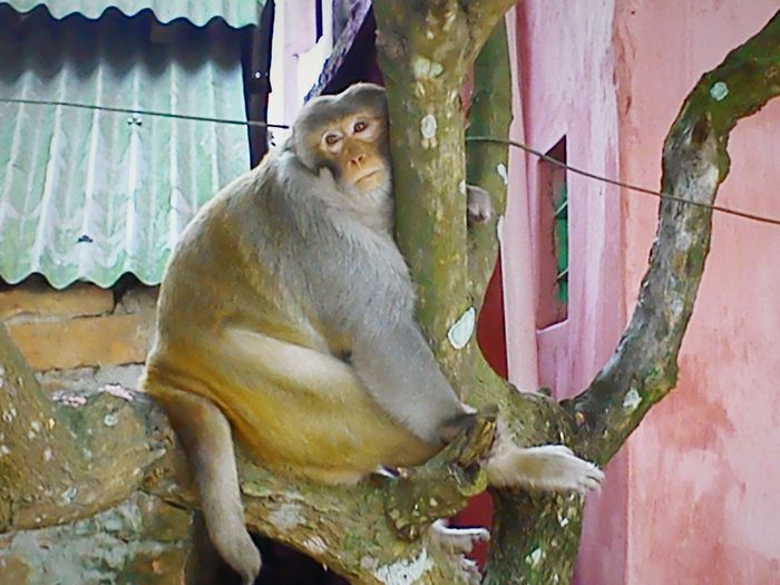Monkey sit in the mango tree inside of my house