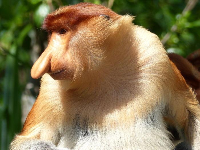 Traveling Malaysia Backpacking Travel Monkey Borneo Animals Nose Kinabatangan Jungle