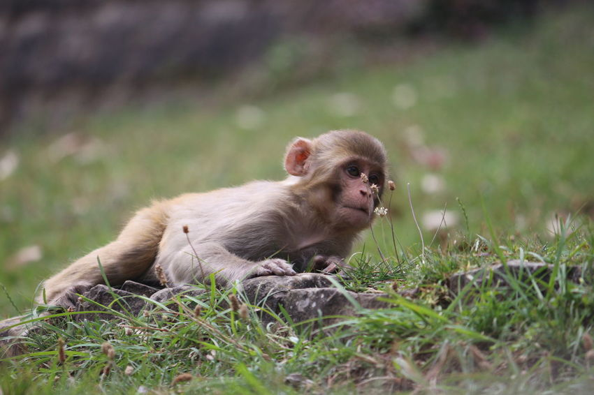 Animals In The Wild Mammal Rhesus Macaque Rhesus Animal Wildlife Place Of Heart Live For The Story EyeEmNewHere The Photojournalist - 2017 EyeEm Awards Canon700D EyeEm Nature Lover The Portraitist - 2017 EyeEm Awards Nature Nature Monkey Animal One Animal Grass Close-up
