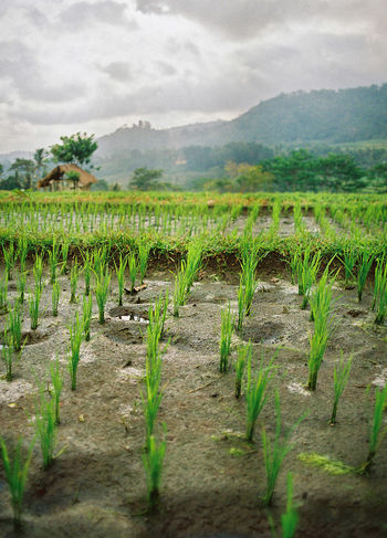 Bali Bali, Indonesia Agriculture Balinese Crop  Field Grass Mountain Plant Ricefield Ricefield View Ricefields