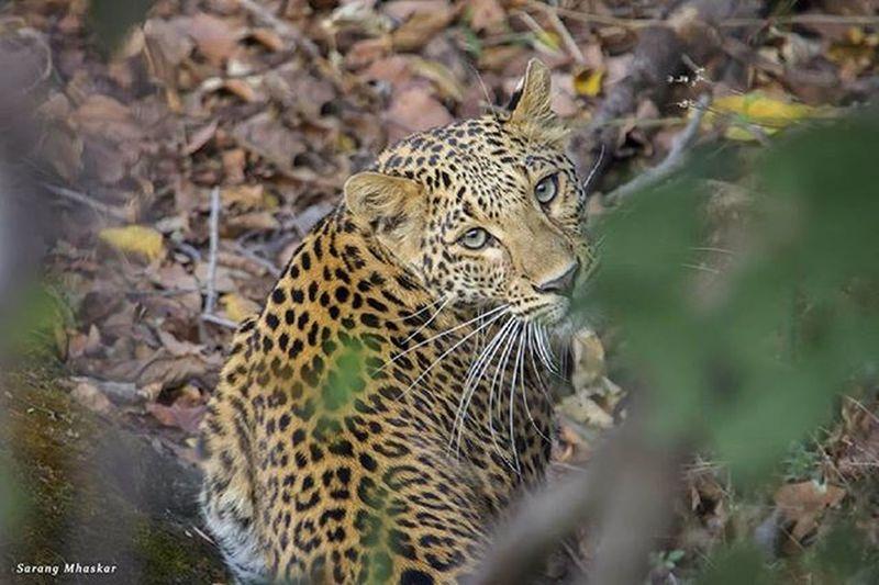 """Ghost..."" Leopard Ghost Bigcat Bigcats Indiawildlife Wildlifephotography Jungle Unseenindia Photooftheday Wildcats Canon_official Natgeoyourshot Wildlifephotographer"