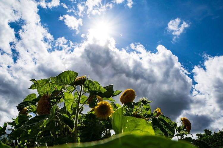 Low angle view of flowering plants against cloudy sky