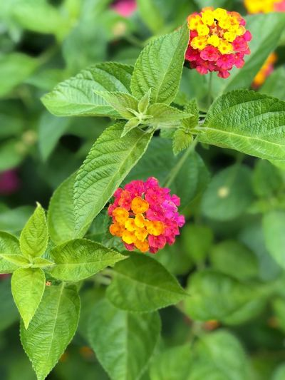 Flowering Plant Flower Plant Plant Part Leaf Growth Fragility Day Freshness Nature Flower Head Focus On Foreground Inflorescence Beauty In Nature Close-up Green Color Vulnerability  No People Lantana Petal