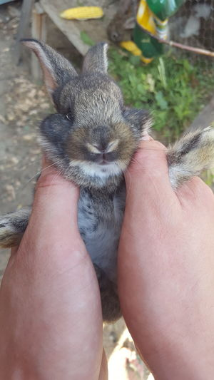 sweet Human Hand Low Section Pets Portrait Close-up Rabbit - Animal Pet Owner Easter Bunny Animal Ear Rabbit