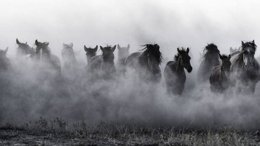 Mustangs Animal Animal Themes Group Of Animals Animal Wildlife Animals In The Wild Nature No People Dust Field Fog Motion Herd Domestic Animals Mustang Mood Action