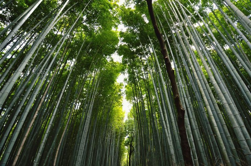 Ultimate Japan Check This Out Hanging Out Hello World Taking Photos Enjoying Life Feel The Journey Discover Your City Week On Eyeem EyemEm Best Edits EyeEm Team EyeEm Gallery Taking Photos Check This Out Tree_collection  Trees Bamboo Forest EyemEm Nature Lover TreePorn