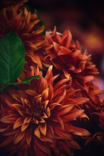 Dahlia Dahlia Flowers Dahlia Flower Background Flower Flowering Plant Beauty In Nature Petal Vulnerability  Plant Fragility Close-up Freshness Growth Flower Head Inflorescence Nature No People Focus On Foreground Leaf Plant Part Day Orange Color Dahlia
