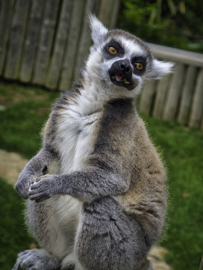A Lemur with his mouth stuffed full of food. Mouth Full Full Mouth Eating Zoo Focus On Foreground Sitting Animal Wildlife Vertebrate Nature Lemur Mammal Ring Tailed Lemur