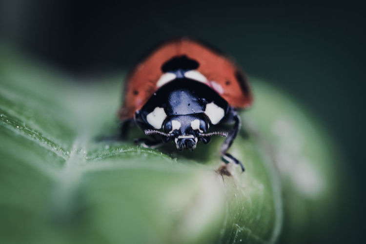 EyeEm Nature Lover EyeEm Nature Collection Nature_collection Nature Nature Photography Animals In The Wild Animal Wildlife Animal Invertebrate Insect Animal Themes One Animal Close-up Selective Focus Plant Part Leaf Green Color Beetle Plant No People Ladybug Day Macro Zoology Small The Minimalist - 2019 EyeEm Awards The Great Outdoors - 2019 EyeEm Awards