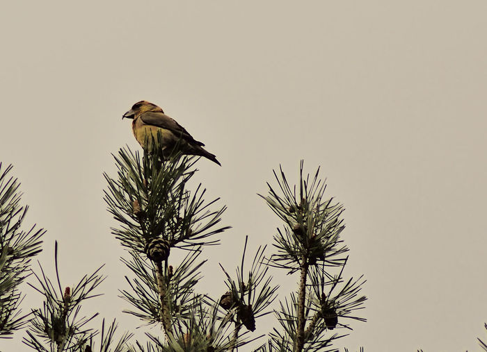 Taken at Elstead Moat Heathland and Wetland. Beauty In Nature Bird Low Angle View Loxia Curvirostra Nature Nature Photography Nature_collection No People Outdoors Perching Wildlife