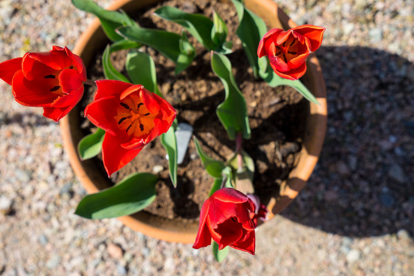 Beauty In Nature Blooming Blooms Close-up Day Flower Fragility Freshness Growth Ireland Leaf Nature No People Outdoors Petal Plant Pot Potted Plant Red Red Tulip Red Tulips Tulip Tulips