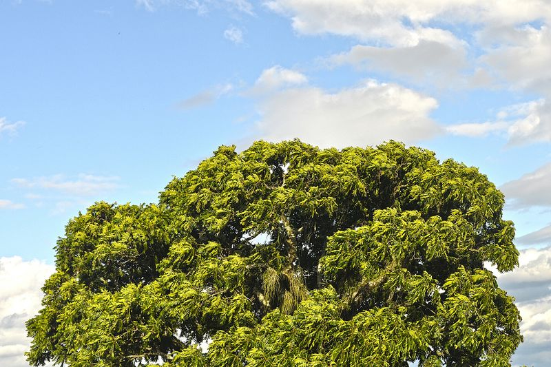 Big Tree Leafs 🍃 Beautiful Nature Cedro Great Tree Ceder Tree Sky And Clouds Nature_collection Pindamonhangaba Brazil