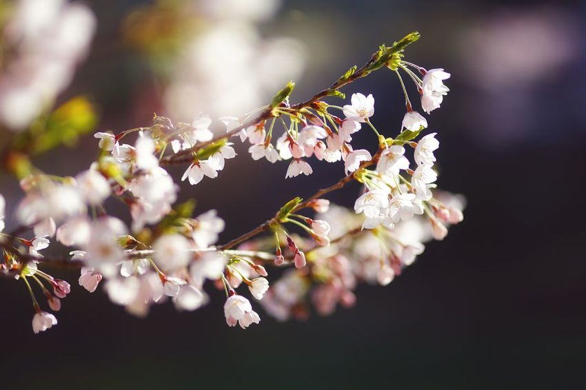 Capture The Moment Uzukiの桜 Darkness And Light Focus On Foreground Fragility Sakura Cherry Blossoms Bokeh Background Beauty In Nature Nature Tranquility Light And Shadow Fine Art Depth Of Field Springtime Petals🌸 Tranquil Scene Uzuki Of The Flower Landscapes Fantasy Full Frame Detail Sigma SONY A7ii EyeEm Best Shots 17_05 Break The Mold EyeEmNewHere