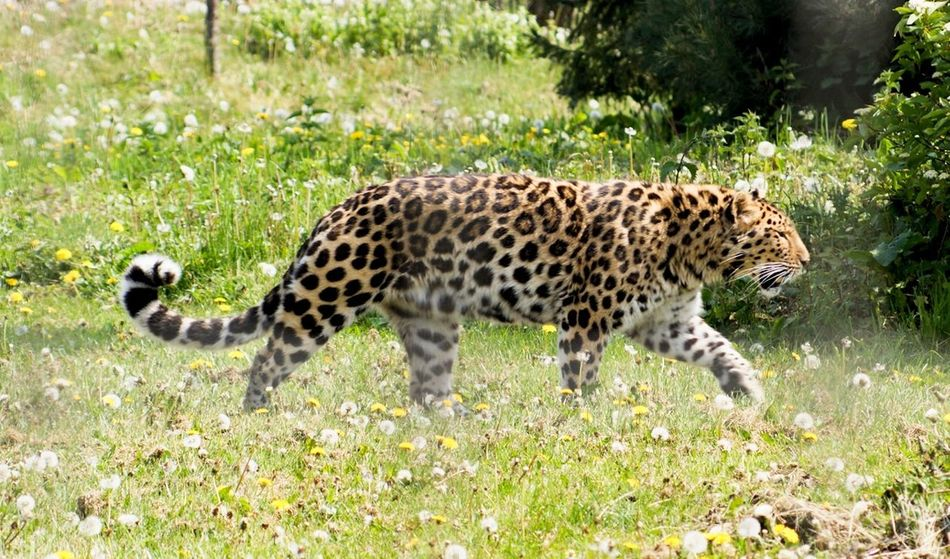 Lepard Zoo Zoo Animals  Animals In Captivity Grass One Animal Animal Wildlife Animals In The Wild Spotted Animal Themes Mammal Cheetah Green Color Leopard Outdoors Day Safari Animals Nature No People