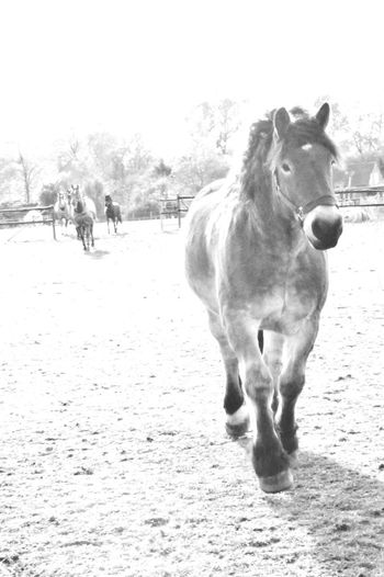 Draft Horses Renish German Coldblood Drafthorse Horse Photography  Horse Black And White Sky
