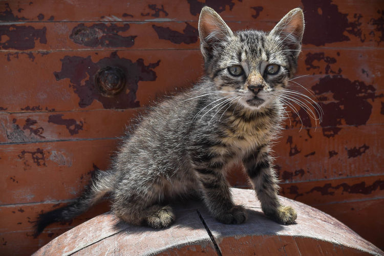 Cute stray kitten looking for love and home Cats Of EyeEm Hopeless Love Meow Adopt Adorable Animal Themes Catlovers Close-up Domestic Animals Domestic Cat Feline Frightening Helpless Kitten Looking At Camera Mammal No People Pets Portrait Sadness Stray Animal Stray Cat Sweet Whisker