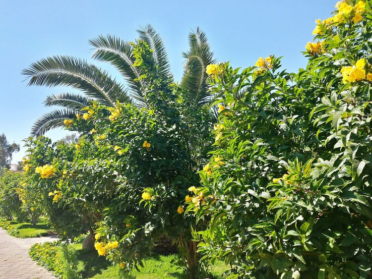 Egypt, Makadi Bay Blue Sky Bushes Blooming Beautifully Palm Tree Behind Blooming Bushes Palm Tree Head Yellow Blooming Bushes Against Blue Sky Showcase: April Ladyphotographerofthemonth On The Beach Promenade Pathway Along The Beach Beach Promenade Strandpromenade Learn & Shoot: Layering