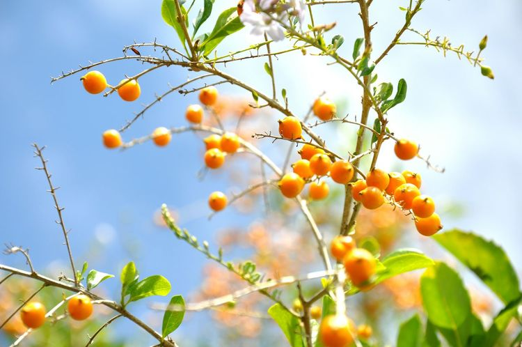 Nature Beauty In Nature Branch Tree Plant Growth Life No People Close-up Outdoors Leaf Backgrounds Wallpaper Orange Blue Sky Day Freshness Fruit Plant Lover Beauty Landscaper EyeEm Nature Lover Photo Of The Day Photography