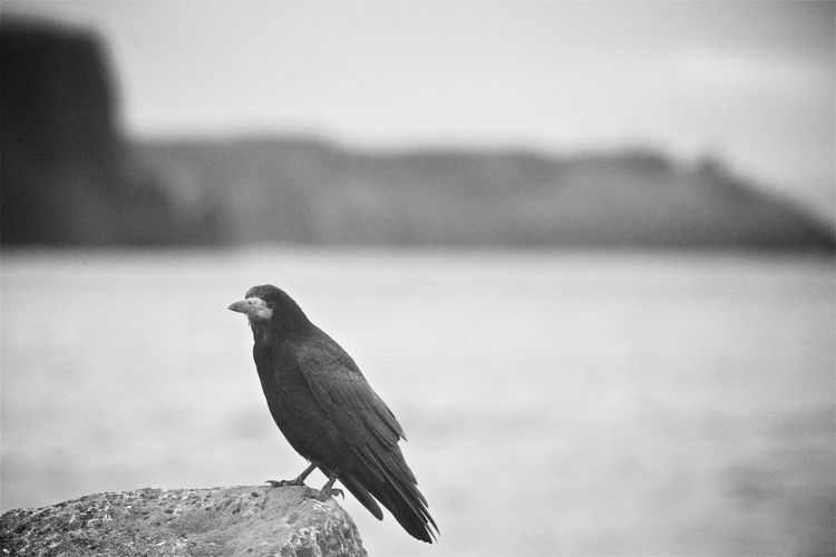 Close-up of crow perching on rock