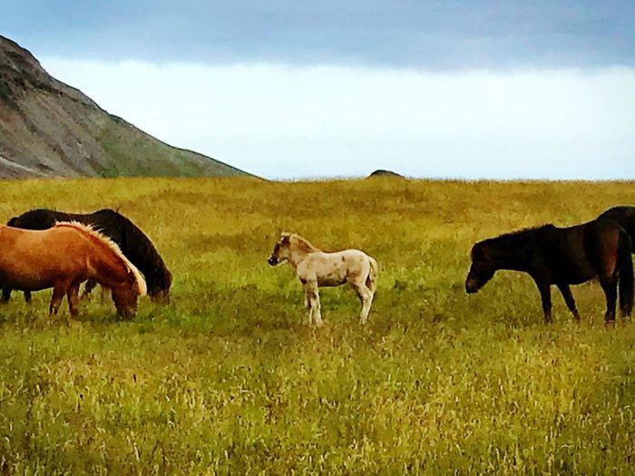 Iceland Mammal