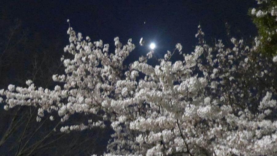 夜桜&月。月はボケてしまいました。