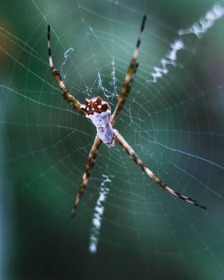 Argiope Argentata Argiope Garden Macro Macro Photography Full Length Animal Leg Web Spider Web Spider Survival Leg Intricacy Close-up Animal Themes Arachnid Insect Bug