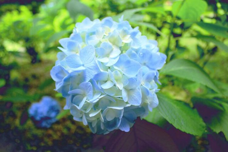 Nature Flower Purple Beauty In Nature Blue Freshness Drop Petal Plant Growth Close-up Fragility No People Flower Head Water Outdoors Day Hydrangea Flowers Flower Collection Flowers, Nature And Beauty Flowers,Plants & Garden Rainy Days Rain