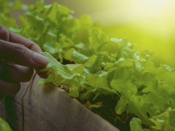 Growing vegetables And green leafy vegetables. It is a food for health lovers. Human Hand Hand One Person Green Color Vegetable Food And Drink Human Body Part Real People Holding Food Growth Plant Leaf Plant Part Close-up Freshness Nature Healthy Eating Wellbeing Unrecognizable Person Finger Gardening