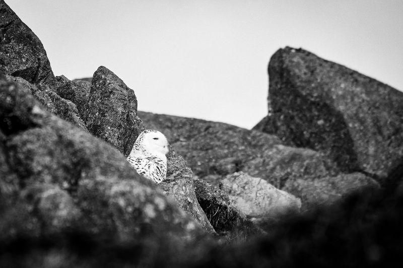 Animals Birds Black And White Blackandwhite Fauna Natural Nature Oiseaux Owl Pentax Sigma Wildlife