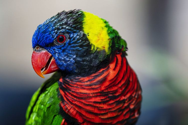 Colorful lorikeet parrot