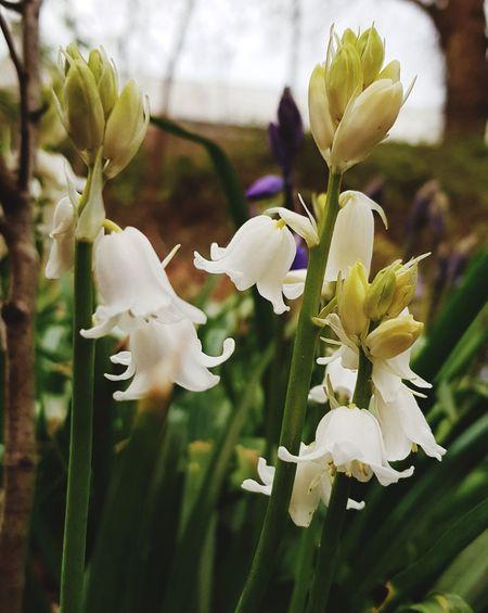 white bells! Albino Bluebells Whitebells Bluebells Flower Head Flower Petal Close-up Plant