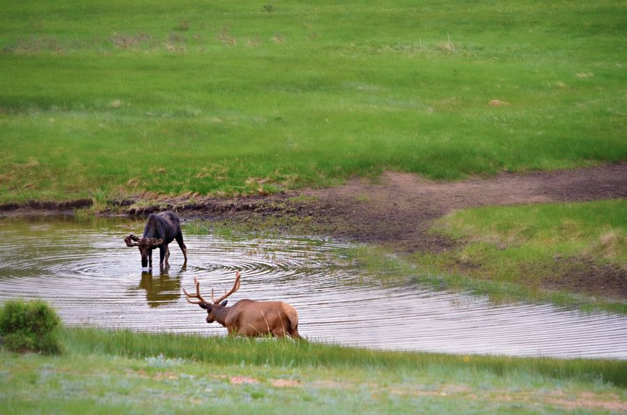 Hey there, friend! Rocky Mountains Meadow Moose Elk Colorado Photography Colorado Mountians Colorado Meadow Moose Water Natural Parkland River Animal Themes Grass Green Color Marsh Foraging Swamp EyeEmNewHere