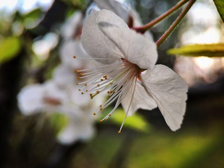 Plumblossom Macro Spring Flowers