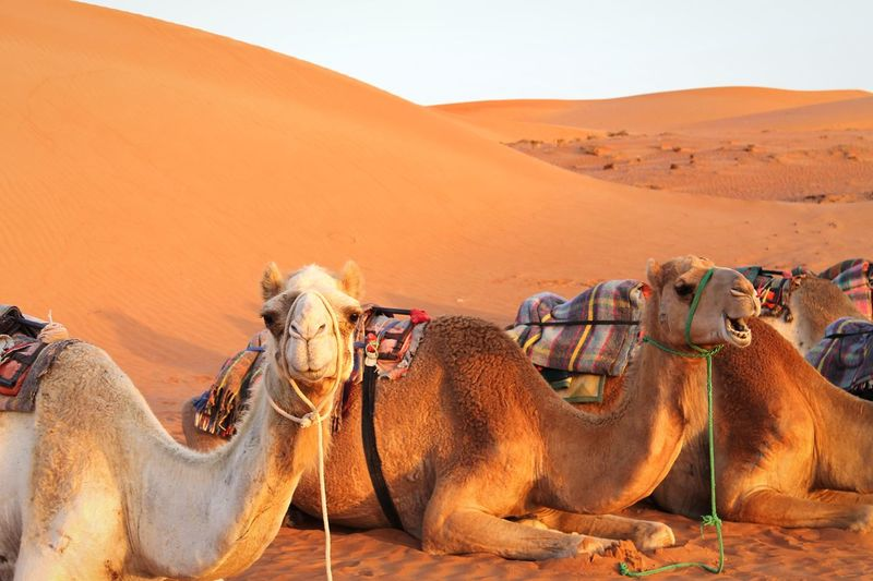 Camels in