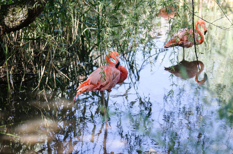 Flamingos, Montreal, Canada. Animal Themes Animal Wildlife Animals In The Wild Beauty In Nature Bird Day Flamingo Flamingos Flamingos In Water Flamingos Up Close Lake Leaf Nature No People Outdoors Reflection Tree Water