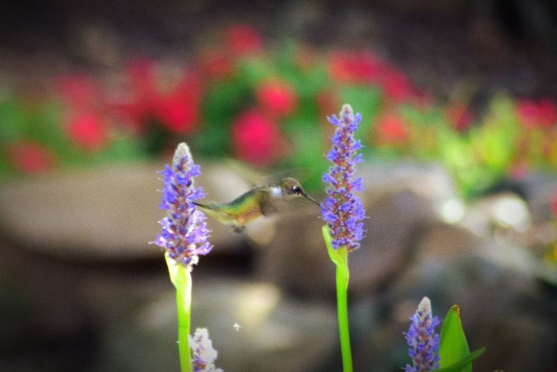 Gainesville Eyeemnature Hummingbird