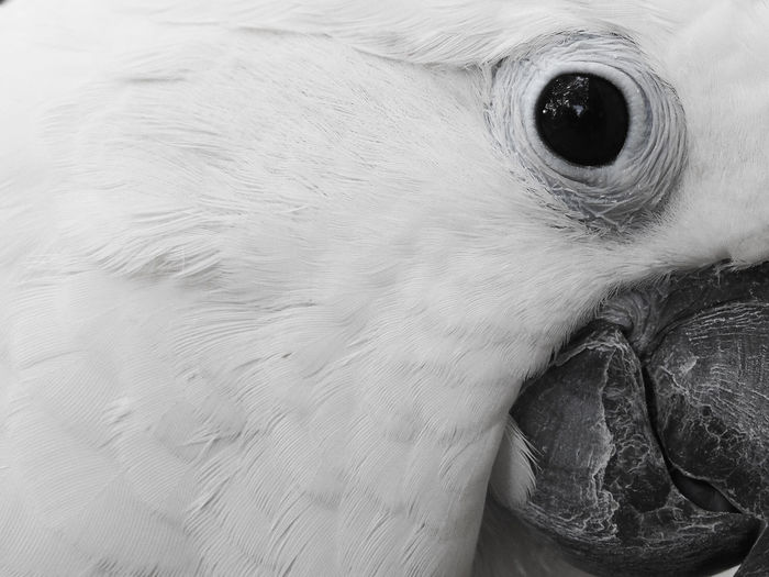 Clara the cockatoo Cockatoo Feathers Animal Body Part Animal Eye Animal Head  Animal Themes Beak Bird Close-up Day Domestic Animals Exotic Pets Leafy No People One Animal Outdoors Parrot Pets Portrait White Color